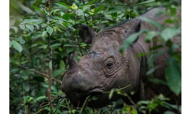 Humans are Sumatran rhinoceros' biggest threat -- and last hope