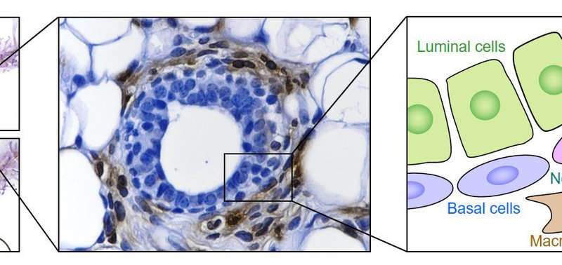 Immune cell provides cradle for mammary stem cells
