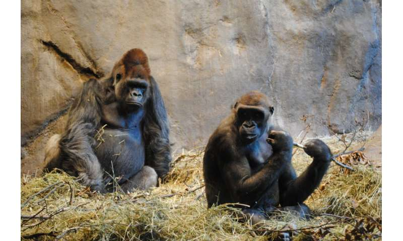 Improved ape genome assemblies provide new insights into human evolution