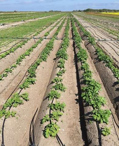 Improved method to identify salt tolerant crops
