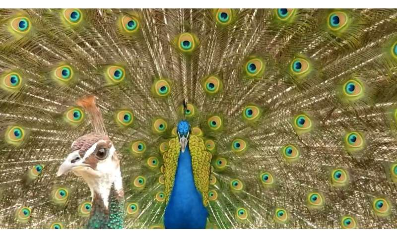 Indian peafowls' crests are tuned to frequencies also used in social displays