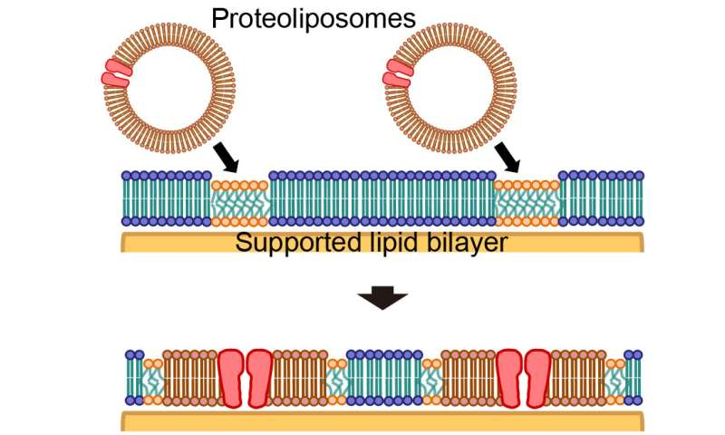 'Islands' of cell membrane components