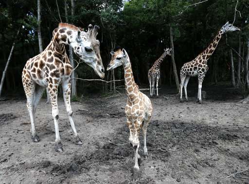 It's a girl,girl,boy,girl...! Baby boom at two-zoo partnership