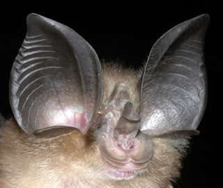 Just how blind are bats? Color vision gene study examines key sensory tradeoffs