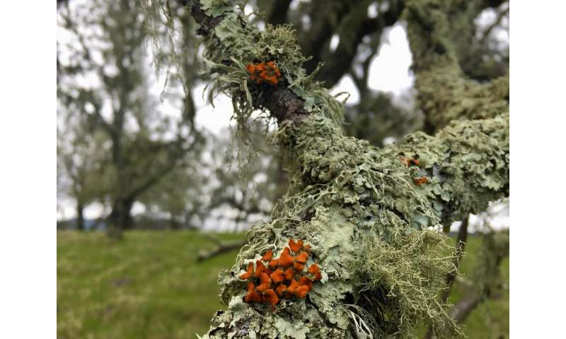 Lichen is losing to wildfire, years after flames are gone