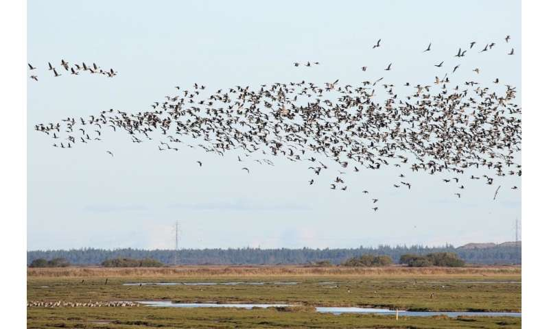 Maize fields entice geese to winter in Denmark