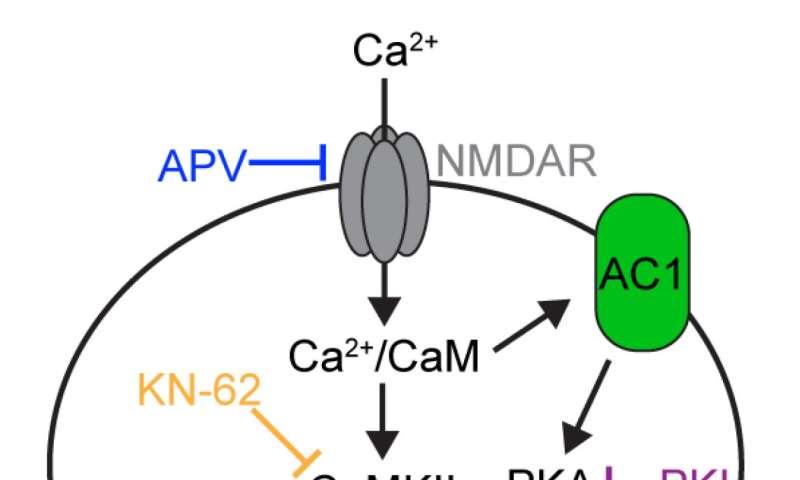 Memory molecule limits plasticity by calibrating calcium