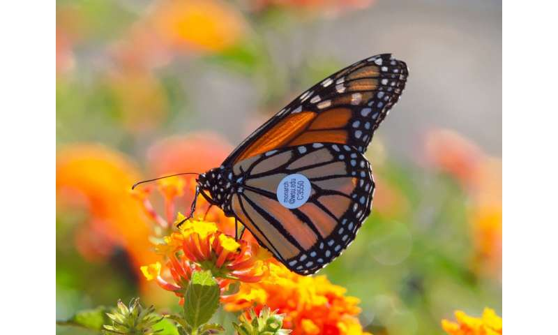 Monarchs ride west coast winds: Proof of butterfly migration gathered