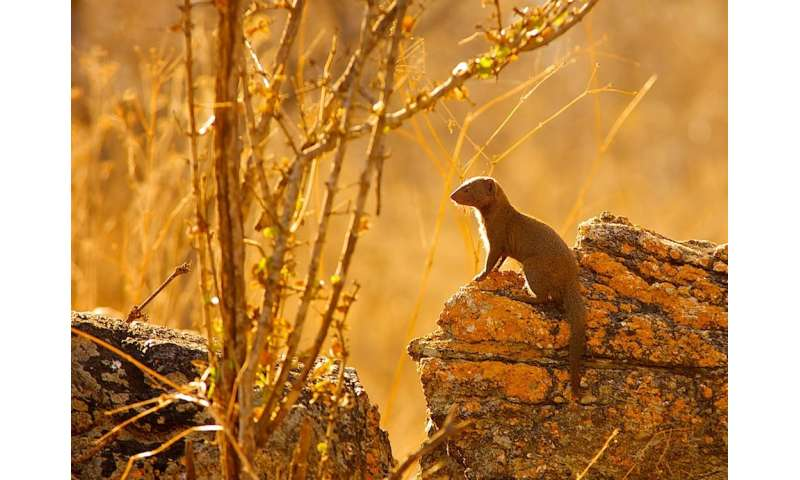 Mongooses remember and reward helpful friends