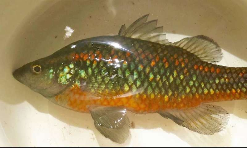Native fish tell story of Australia's less arid past