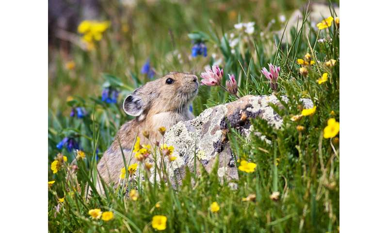 New evidence of two subspecies of American pikas in Rocky Mountain National Park