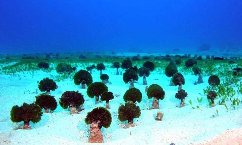 New mudweed species threatens Hawaiʻi marine environments