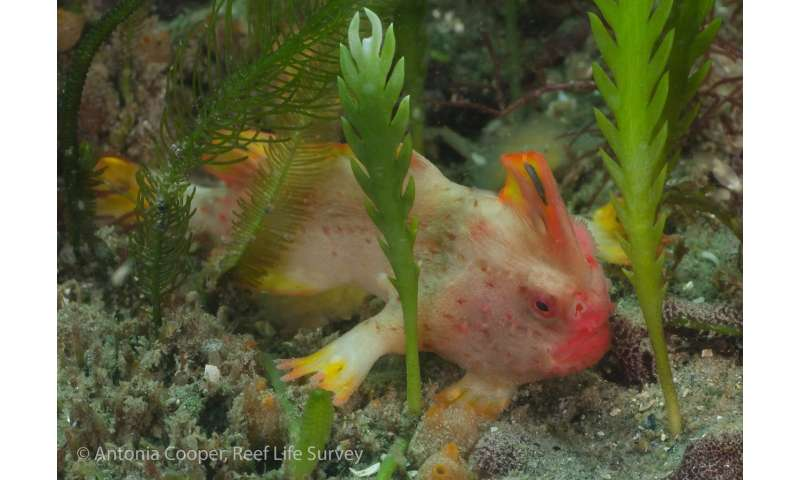New population of world's rarest fish discovered off Tasmanian coast
