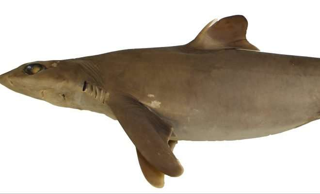 New shark species discovery may help conservation efforts