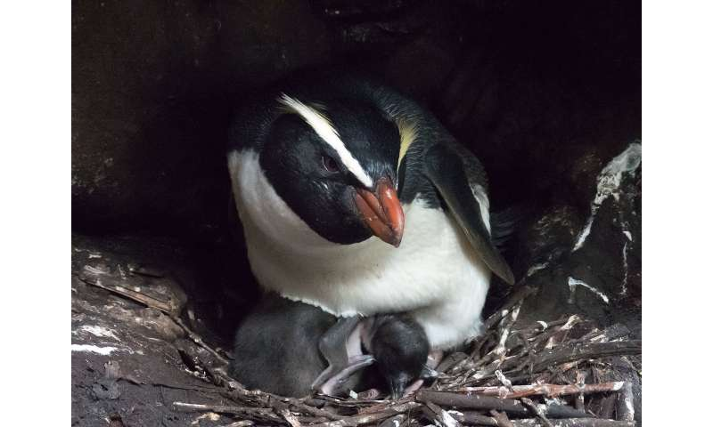 New Zealand penguins make mammoth migrations, traveling thousands of kilometers to feed