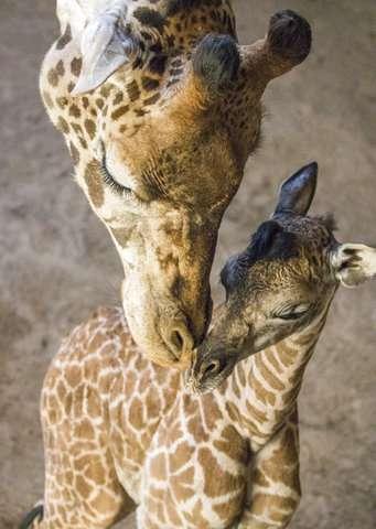 No small feat: Santa Barbara Zoo giraffe births 6-foot baby