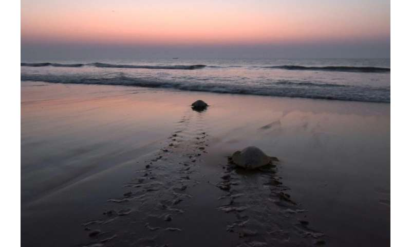 Olive ridley turtles are known to navigate thousands of miles of open ocean to reach beaches, where they come ashore under the c