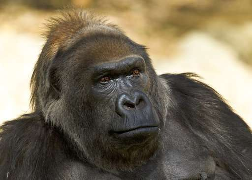 One of world's oldest gorillas dies at San Diego Safari Park