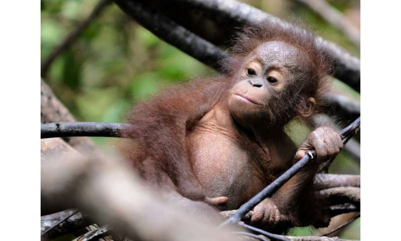 Orangutans in Borneo are just one of the world's many threatened species as Earth faces a biodiversity crisis