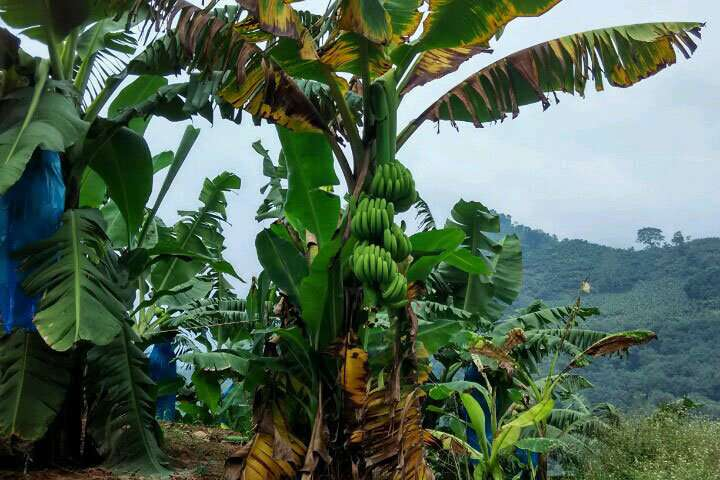 Path of Panama disease fungus established for the first time