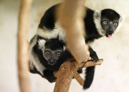 Prague zoo says it's on its way to breeding rare lemurs