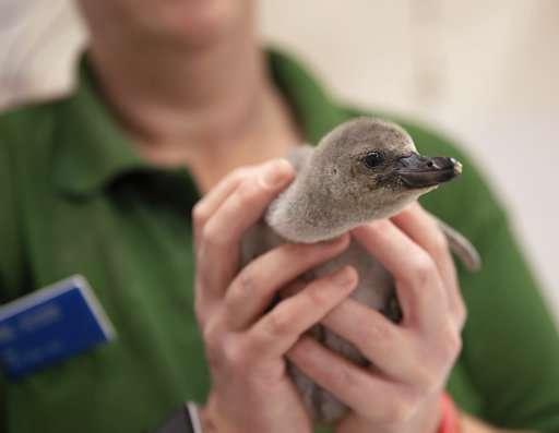 Premature baby penguin recovers after parents broke her egg