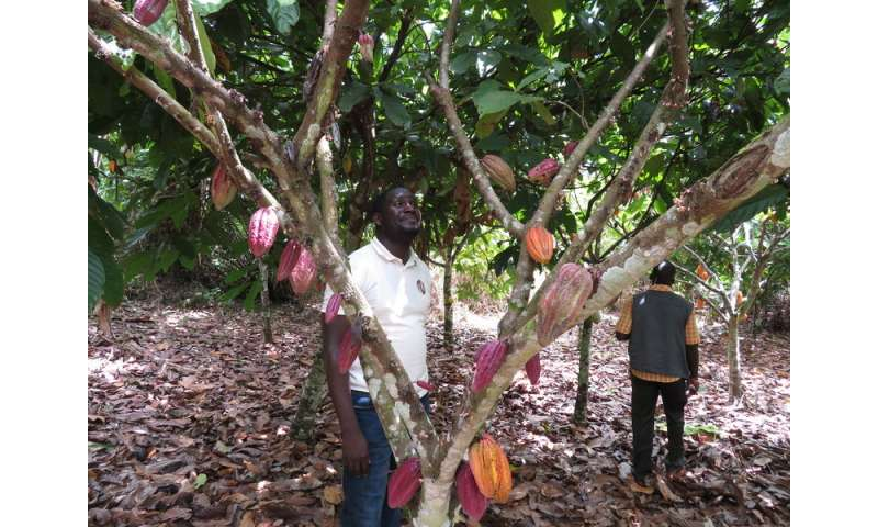 Ravaged by a poorly studied disease, cacao trees are dying