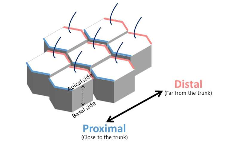 Regulation of cell orientation and shape for tissue morphogenesis
