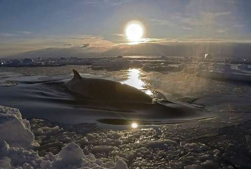 Researcher captures striking Antarctic video of minke whale