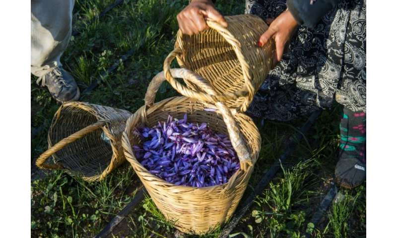 Saffron farmers in southern Morocco are proud of their protected designation of origin label, guaranteeing a product's origin an