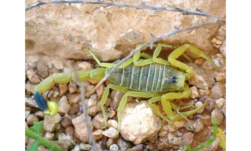Scorpion venom to shuttle drugs into the brain