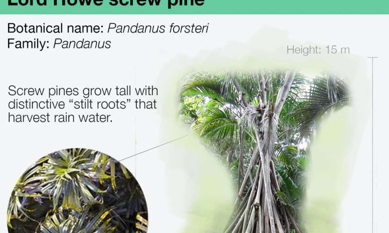 Screw pine is a self-watering giant