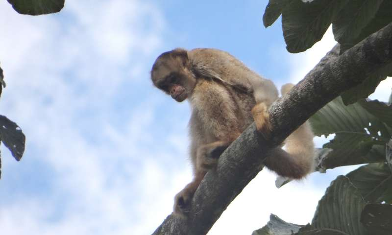 Sending out an SOS for the solitary spider monkey