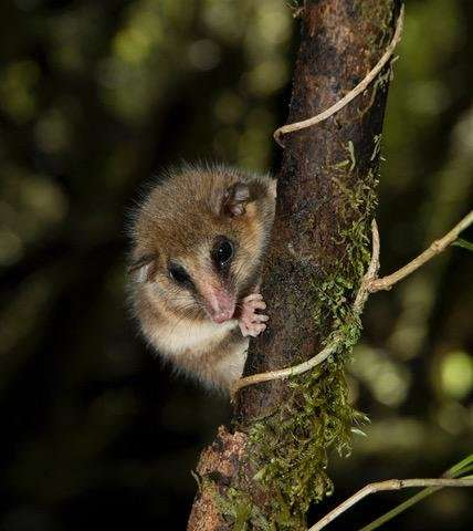 South American marsupials discovered to reach new heights