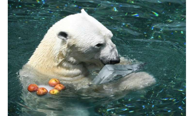 South Korea's last captive polar bear, a 23-year-old male named Tongki, is set to swap the country's stifling, humid summers for