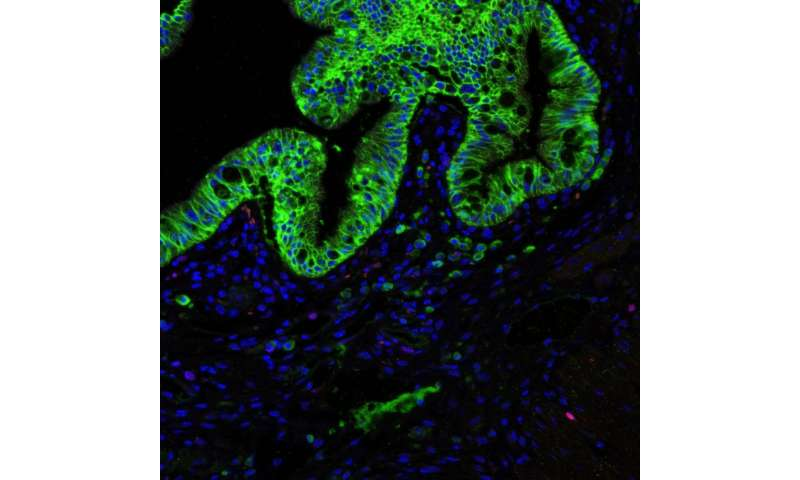 Stem-cell niche for 10 billion colon cells a day