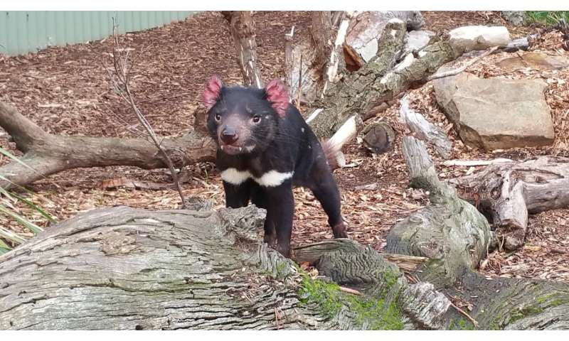 Stem cell research provides hope for tasmanian devils with a deadly, transmissible cancer