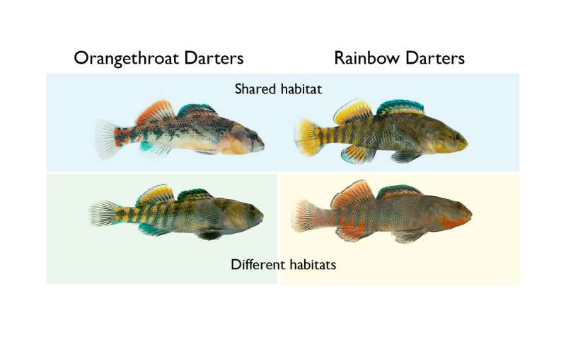 Study: In darters, male competition drives evolution of flashy fins, bodies