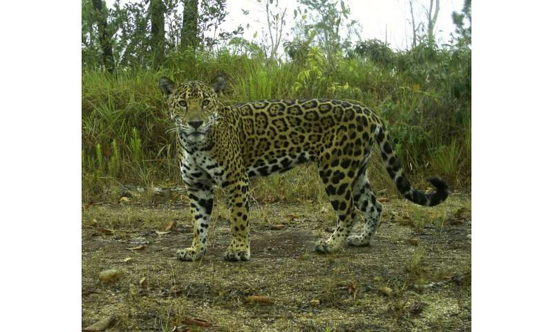 Surviving large carnivores have far-reaching impact