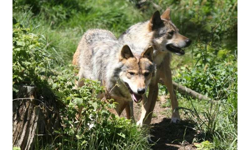 The French government announced it will allow the wolf population to grow 40 percent over the next five years, resisting pressur