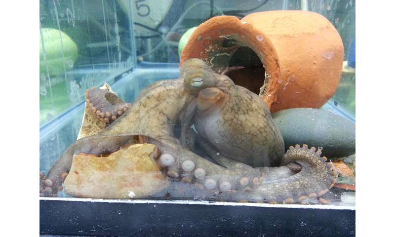 The grim, final days of a mother octopus