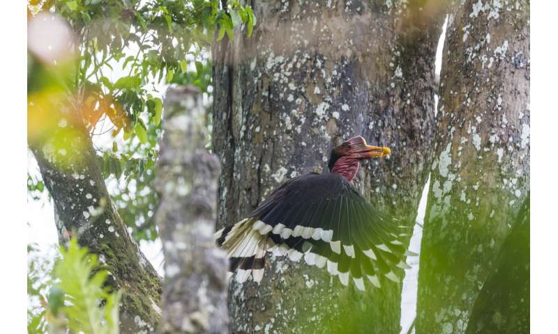 The last laugh – How long before the helmeted hornbill falls silent?
