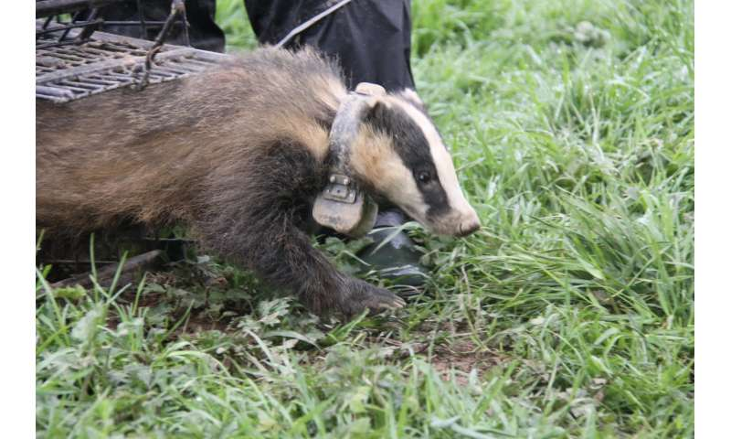 The 'Super-Ranger' badgers that may hold the key to limiting the spread of bovine TB