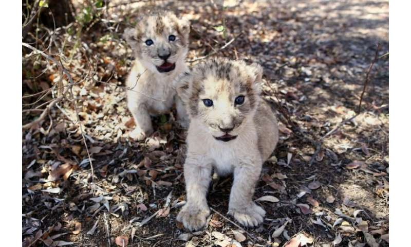 The world's first lion cubs born through artificial insemination, Victor and Isabel, at a conservation centre outside South Afri