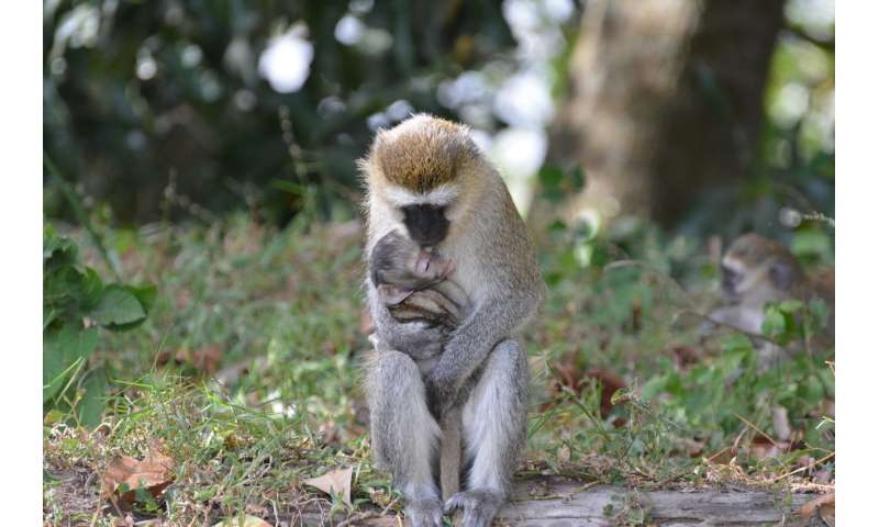 This monkey can plan out their foraging routes just like a human