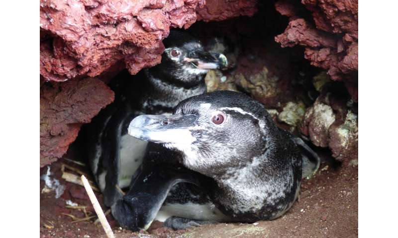 To find the sex of a Galápagos penguin, measure its beak, researchers say