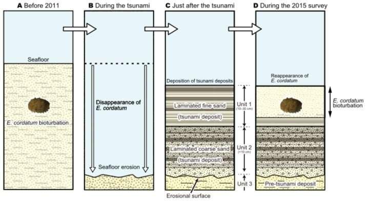 Tohoku tsunami impacted home-building habits of eco-engineer heart urchins