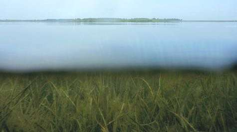 Underwater grasses in Chesapeake Bay continue record growth