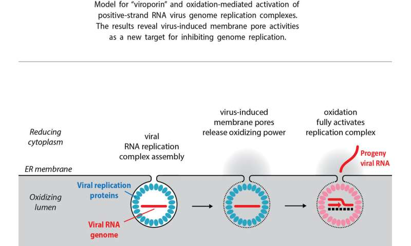 Viral replication discovery could spur new broad-spectrum antivirals