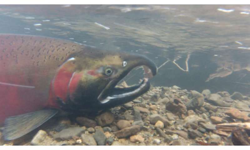 West Coast waters returning to normal but salmon catches lagging